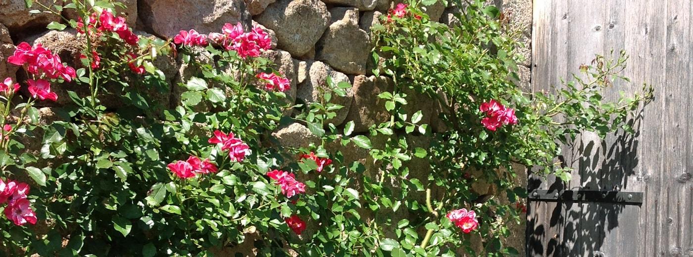 Rosen in La Bourange