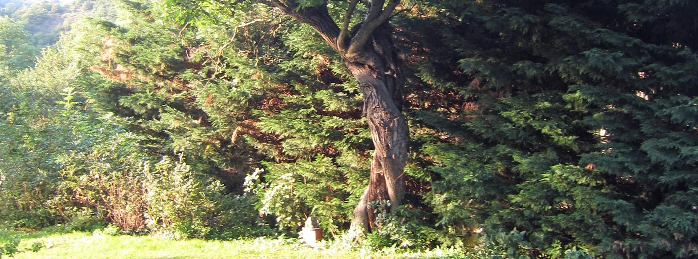 Walnussbaum La Bourange