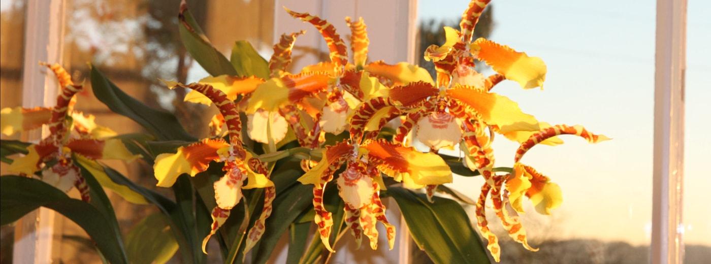 Zahnzungen-Orchidee