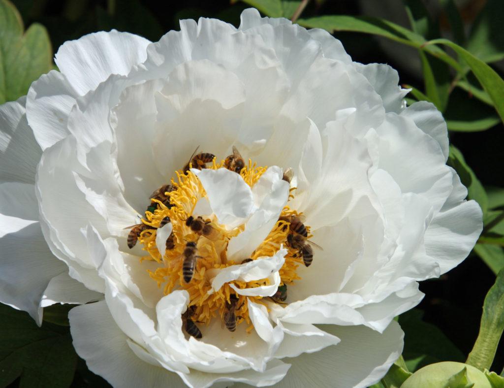 Bienen in Paeonienblüte