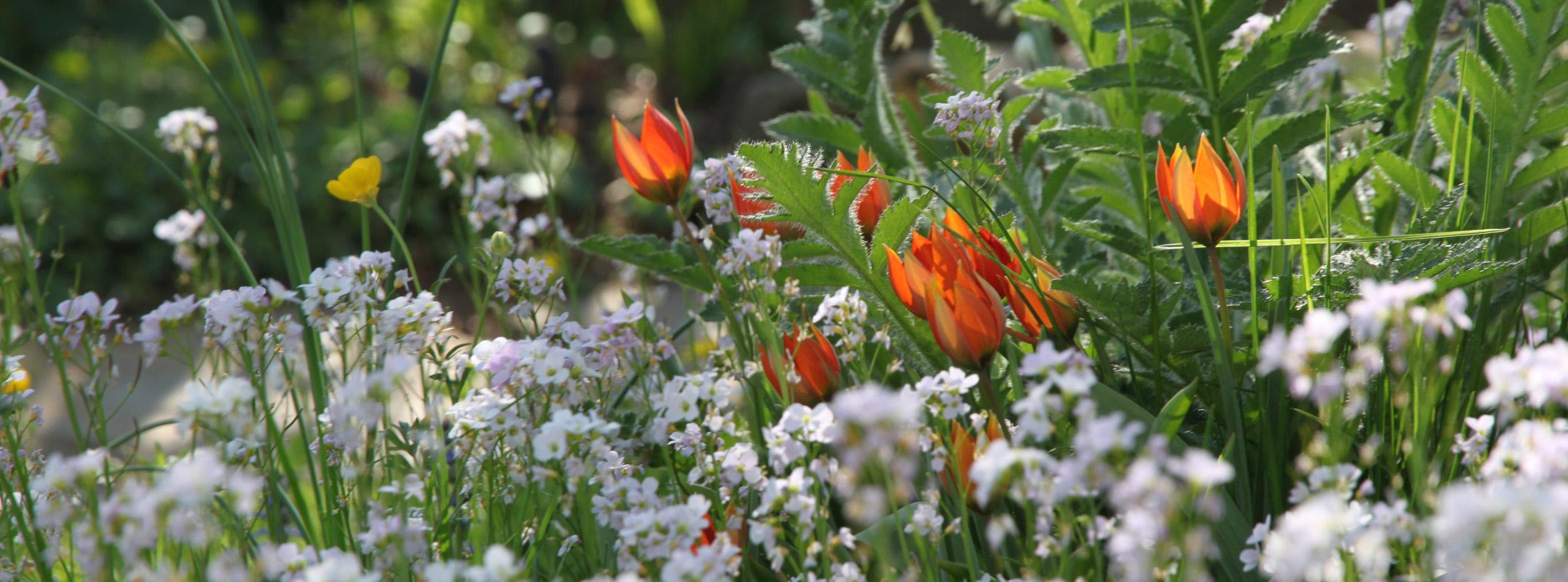Wildtulpen im Garten